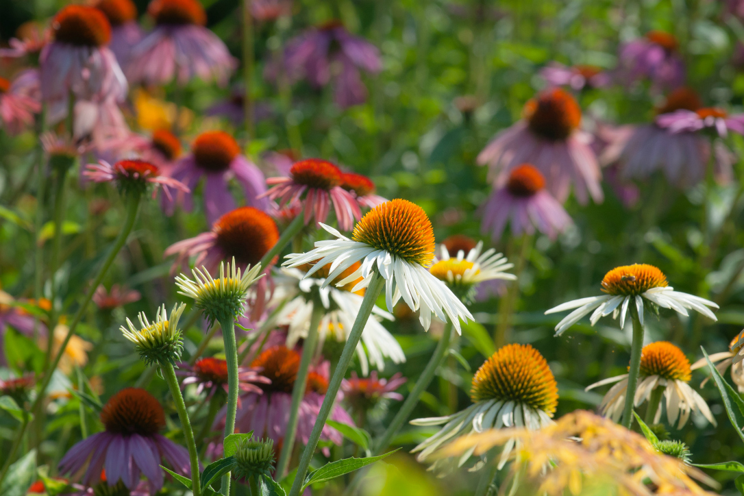 summer flowers echinacea daisy