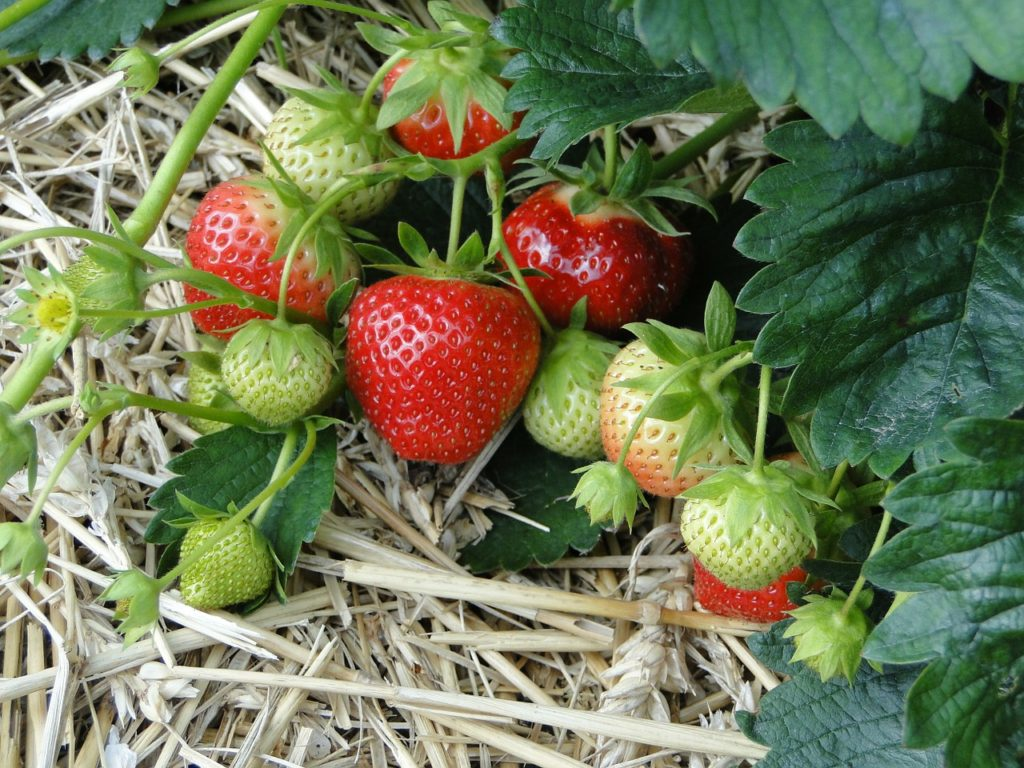 making new strawberry plants is a quick gardening job for late summer