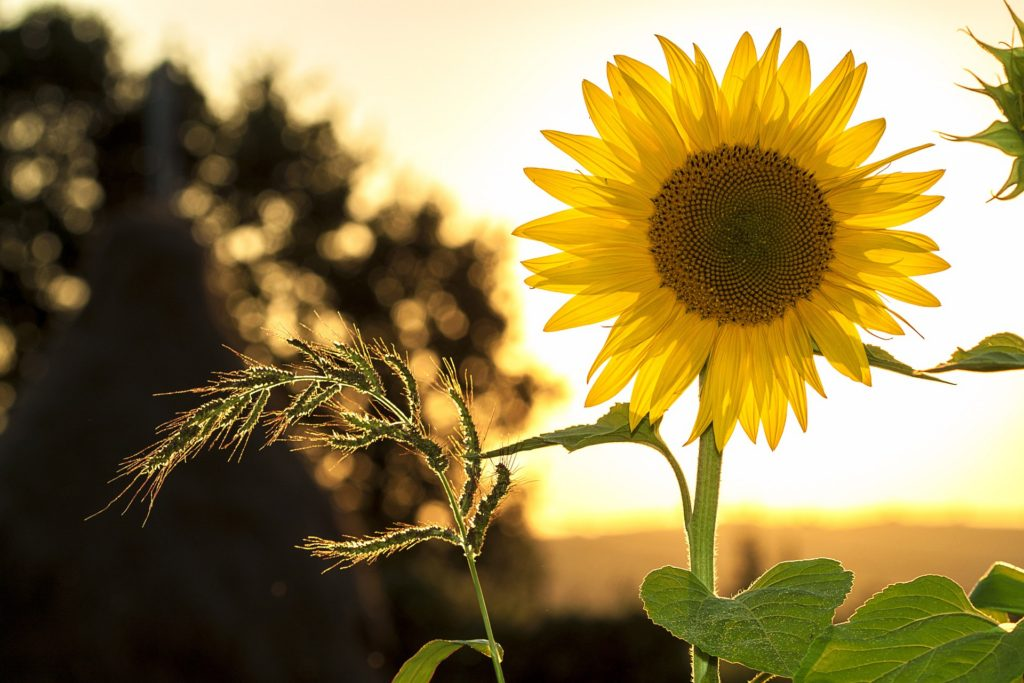 sunflower in the sunshine