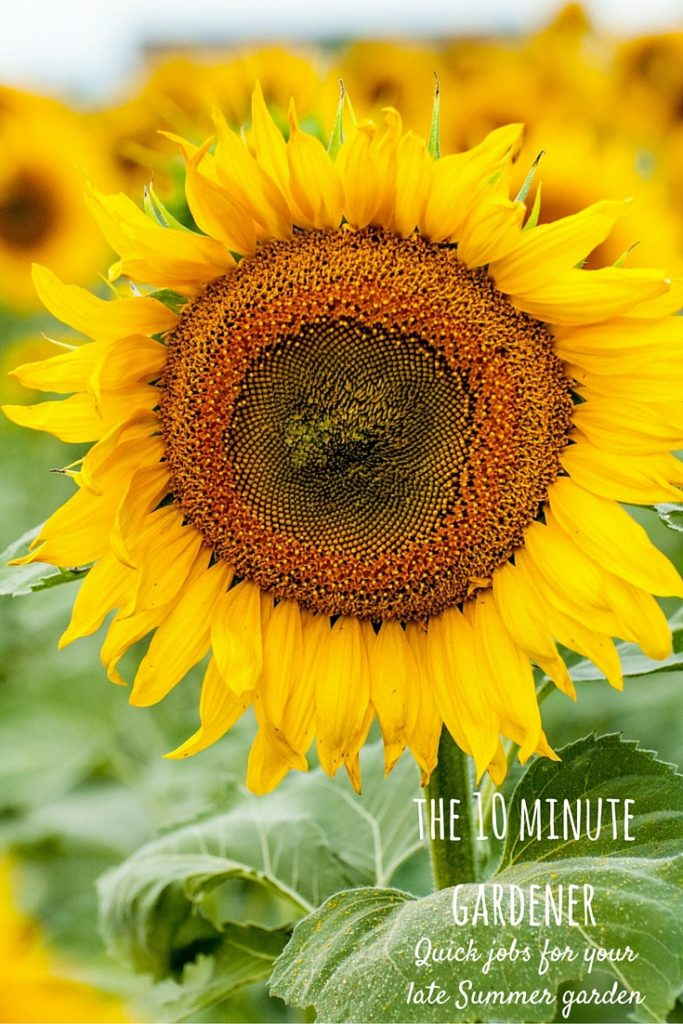 the 10 minute gardener - quick gardening jobs for your late summer garden
