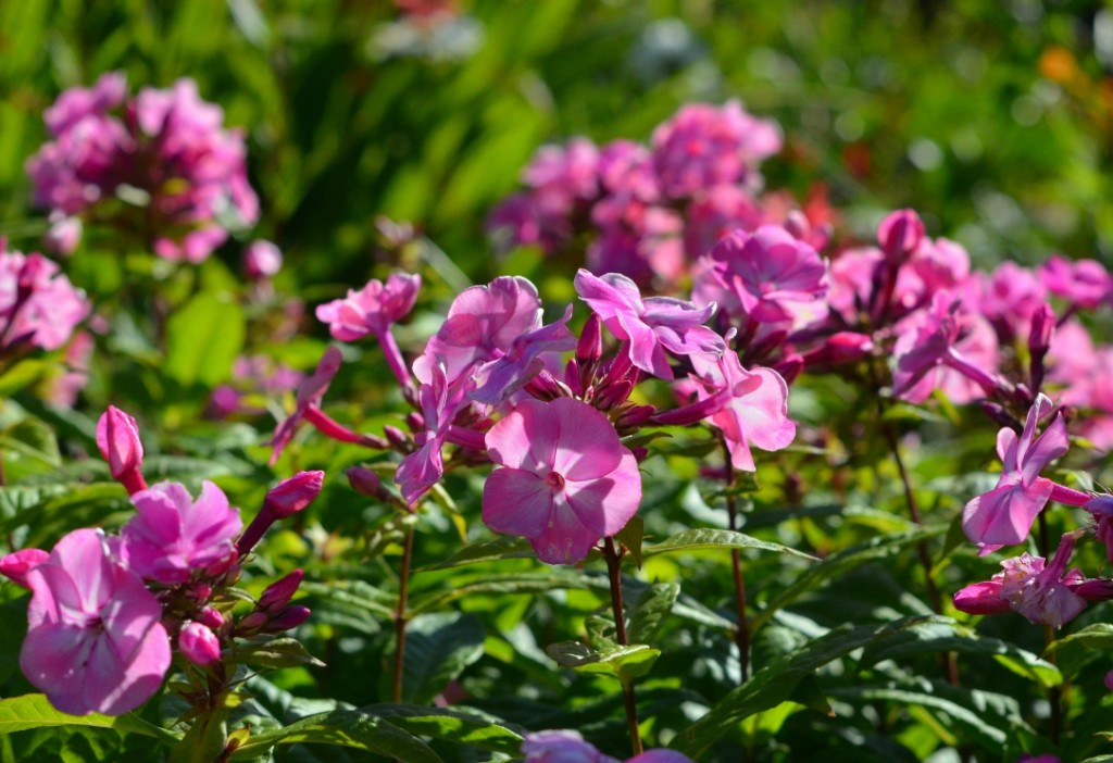 what to plant in january - geraniums