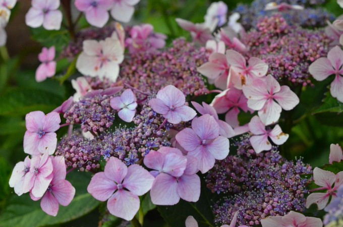 english coastal country garden hydrangea