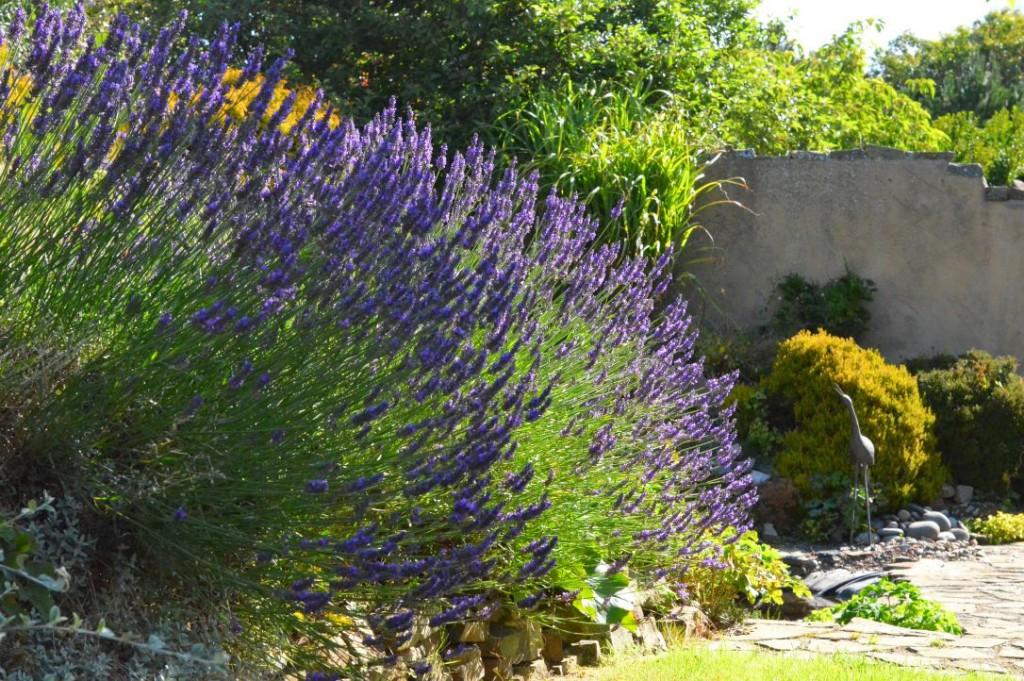 english country garden lavender