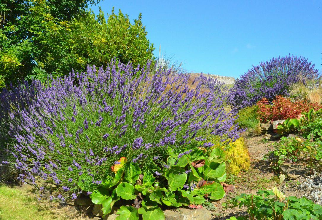 english coastal country garden lavender