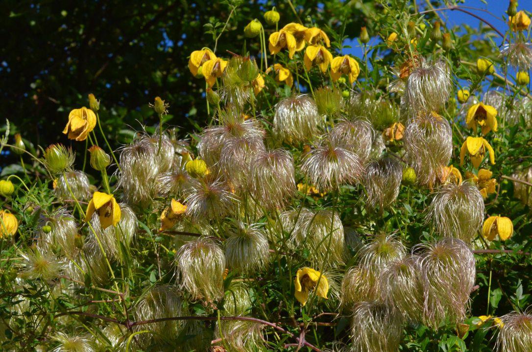 english coastal country garden clematis