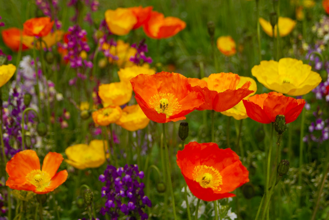 poppies birth flowers august