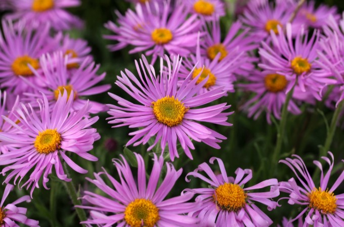 birth flowers september aster
