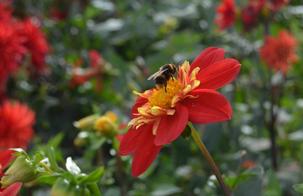 clumber park dahlia