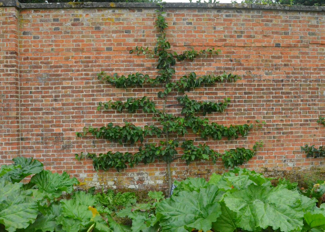clumber park espaliered apple tree