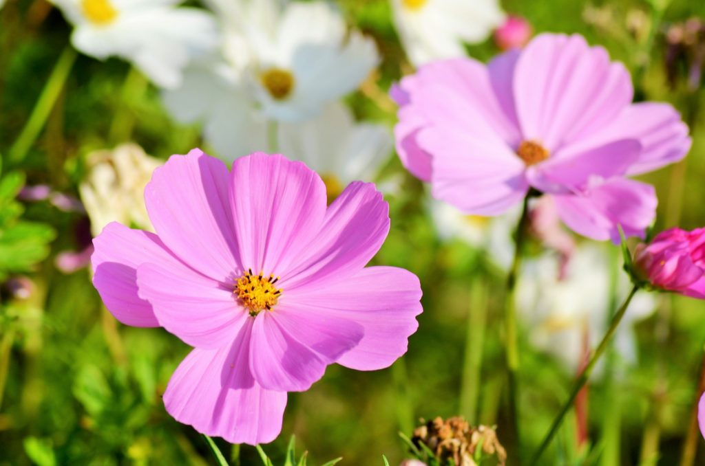 easy flowers to grow from seed: cosmos