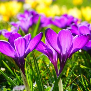 what to plant in september - spring flowering bulbs