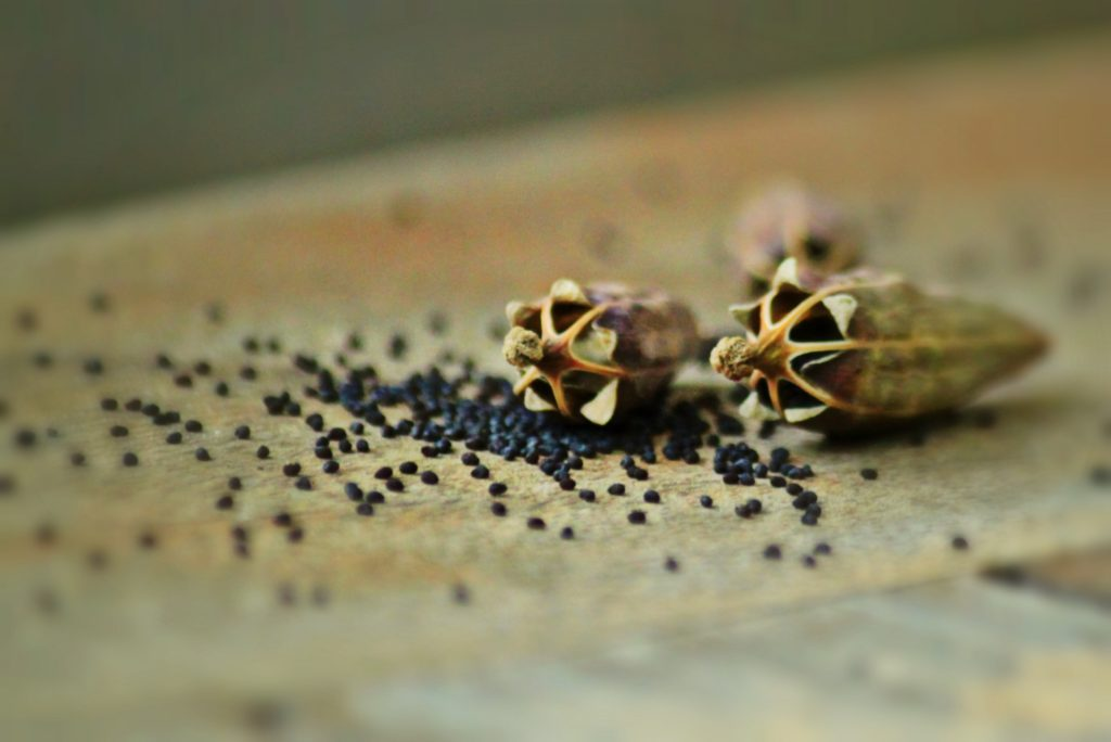 saving seeds in autumn - poppy seed pods