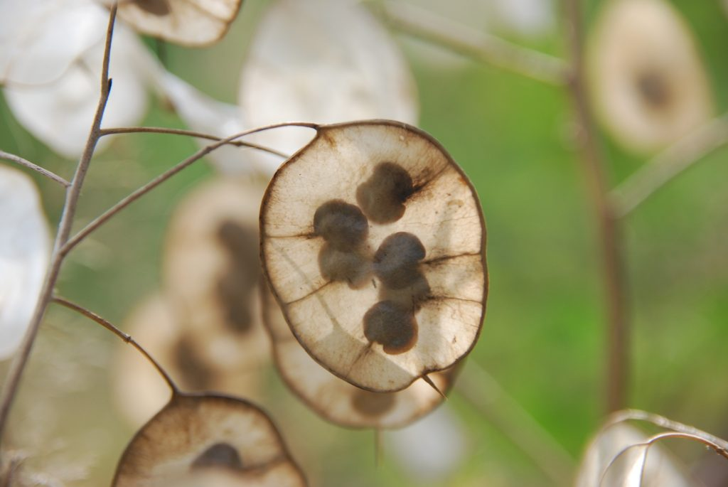 honesty seeds