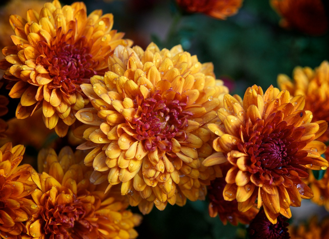 chrysanthemum birth flower november