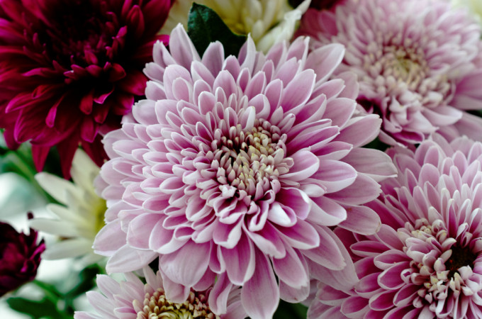 Birth Flowers: November – chrysanthemums
