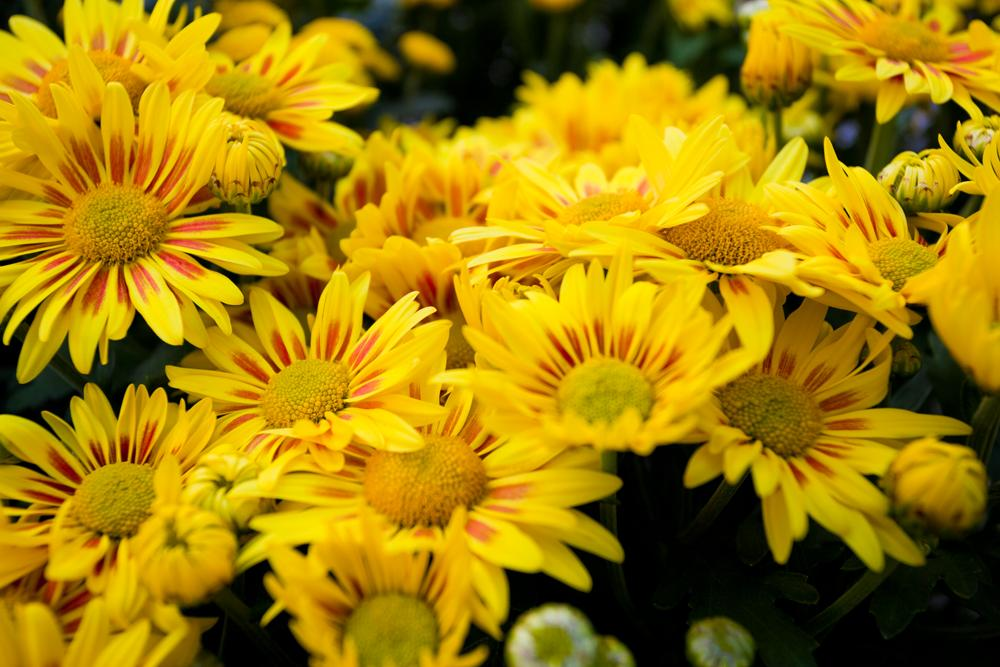 chrysanthemums birth flower november