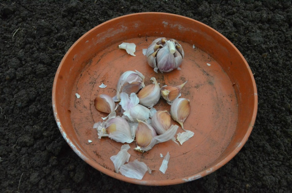 garlic cloves ready for planting