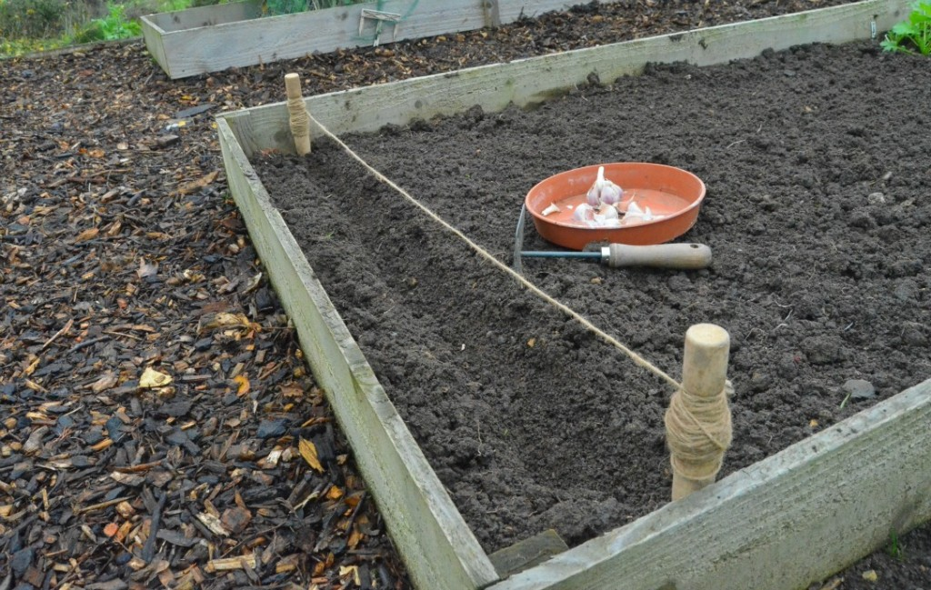 preparing a trench in a raised bed before planting
