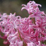 what to plant november hyacinths