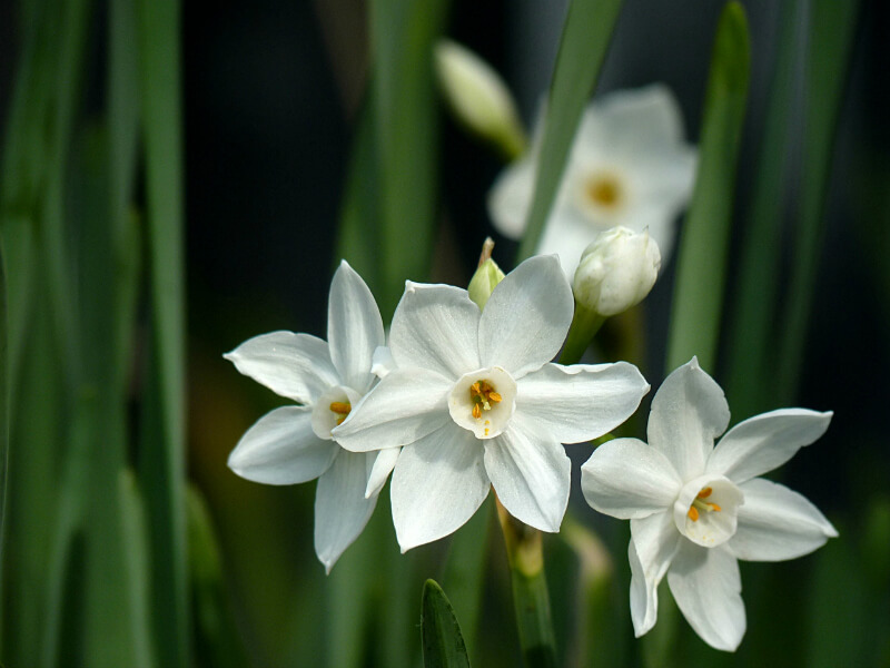 Image result for narcissus flowers