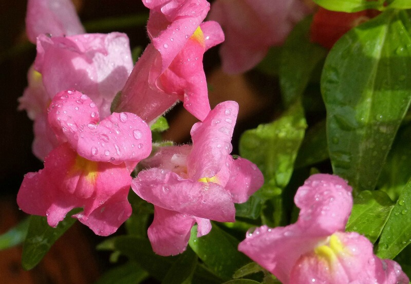 plants for a summer garden snapdragons