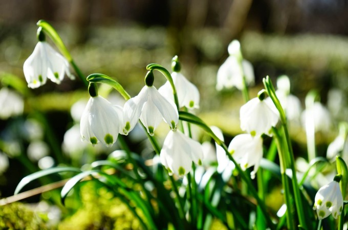 snowdrops january birth flower