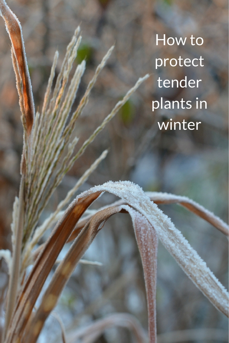 winter gardening how to protect tender plants growing family