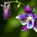 plants for a summer garden aquilegia