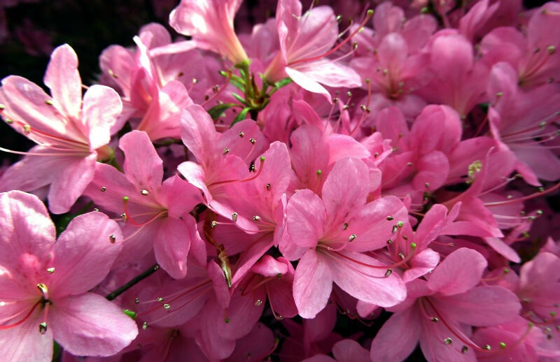 plants for a summer garden azalea