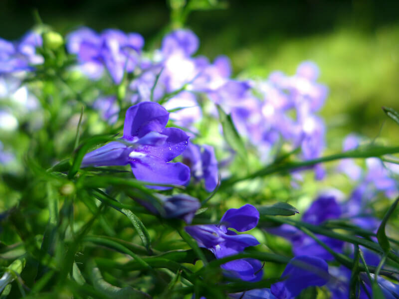 plants for a summer garden lobelia