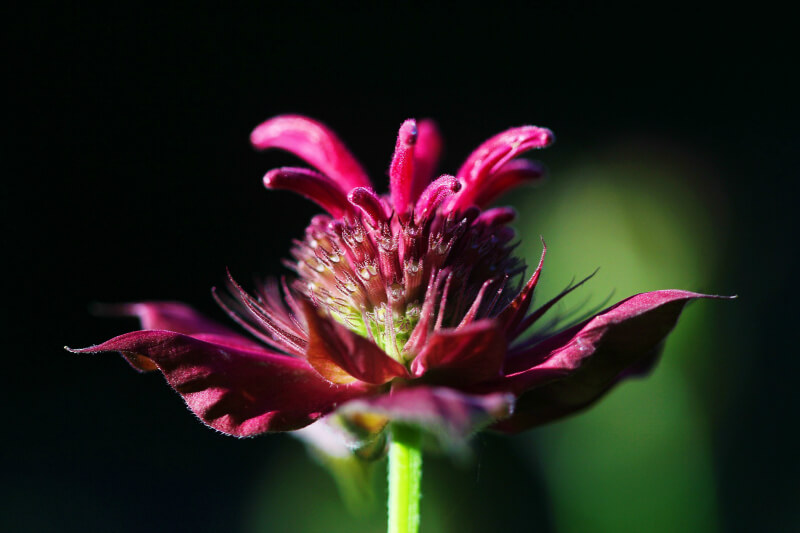 plants for a summer garden monarda bergamot