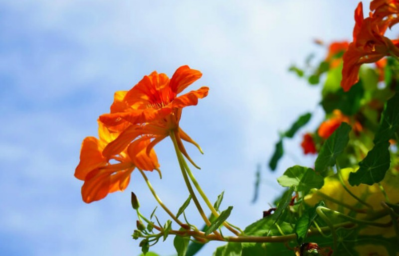 easy flowers to grow from seed: nasturtium