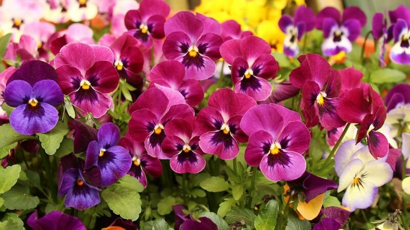 plants for a summer garden pansies