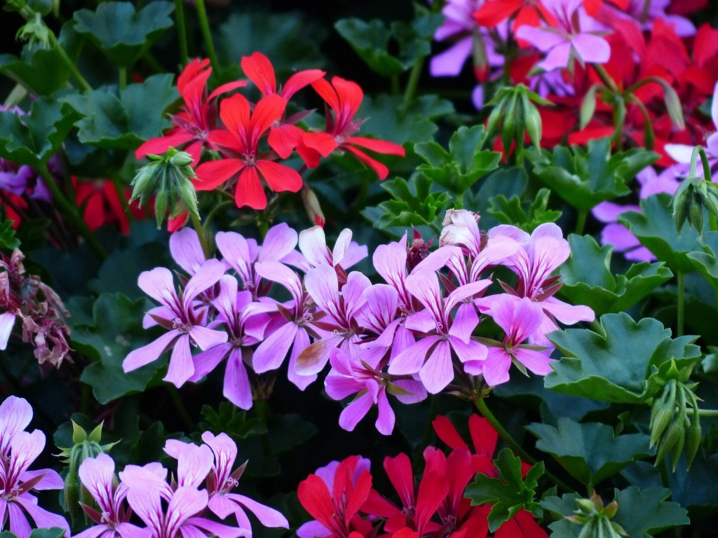 pelargonium winter protection tender plants