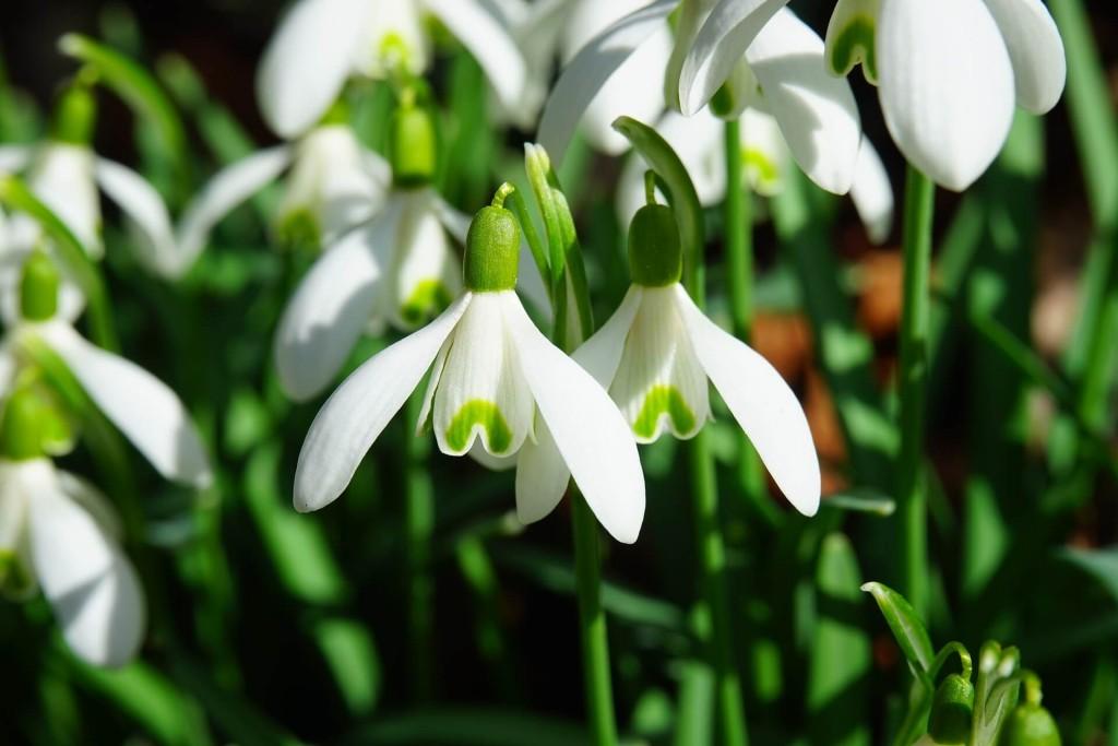 snowdrops january birth flower