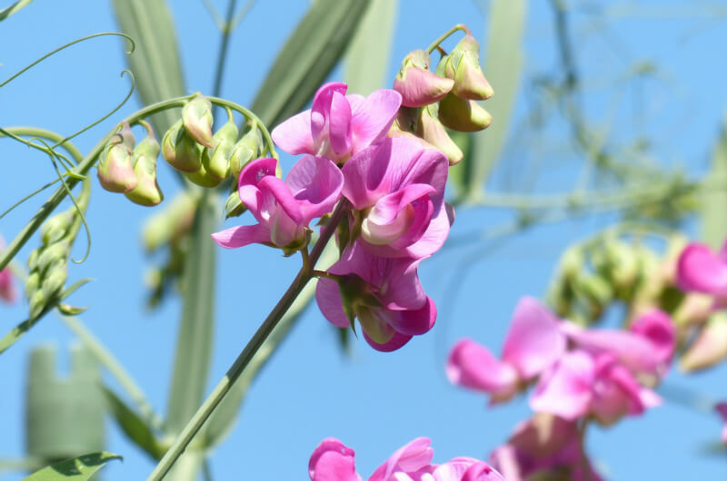 plants for a summer garden sweet peas