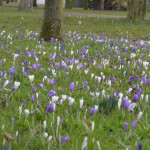 crocus meadow in march