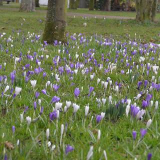 crocus meadow in march