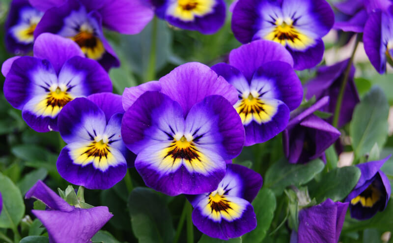 birth flowers february  violets  primroses  growing family, Natural flower