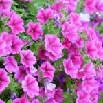 petunias pink summer flowering plants
