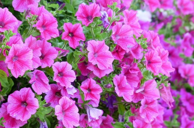petunias pink summer flowering plants