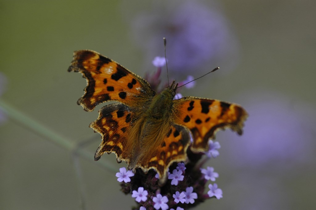 comma butterfly by grahame madge rspb images