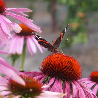 echinacea is a great plant for attracting butterflies to the garden