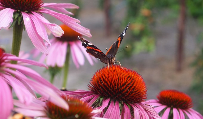 Giving nature a home in our garden: growing flowers for butterflies