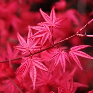 acer palmatum japanese maple tree