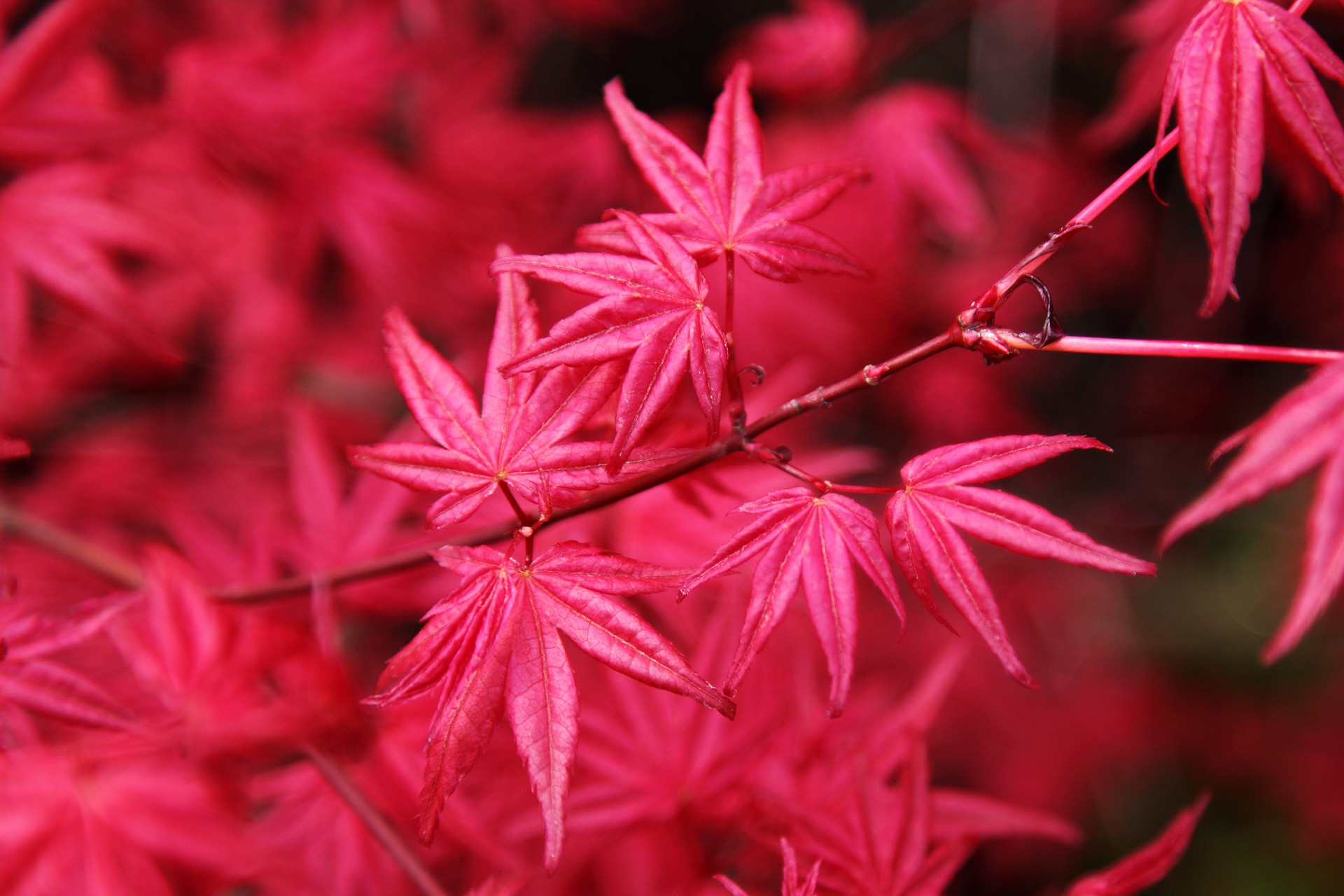 All about the japanese maple growing family Japanese maple leaf