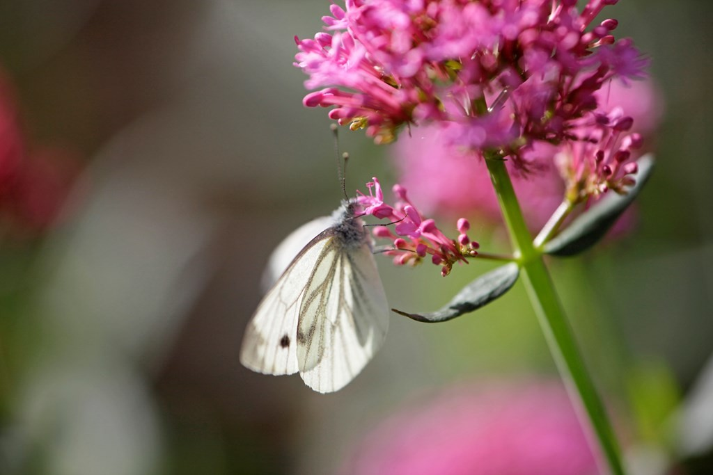 cabbage white on red valerian by Andy Hay rspb images