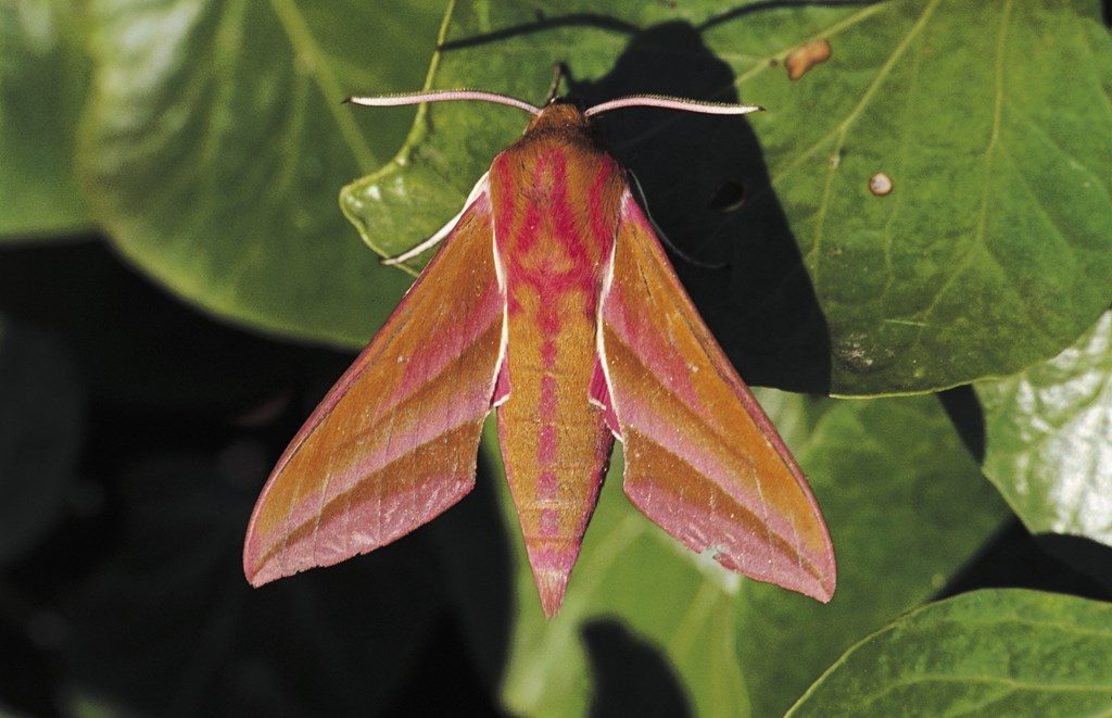 elephant hawk moth rspb images