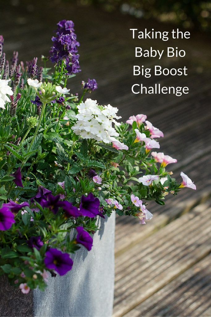 taking the big boost challenge with baby bio outdoor plant food