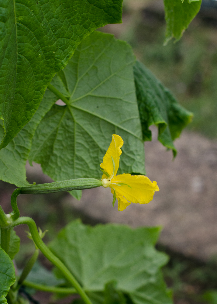 grow-your-own photographic diary 2 cucumber flower